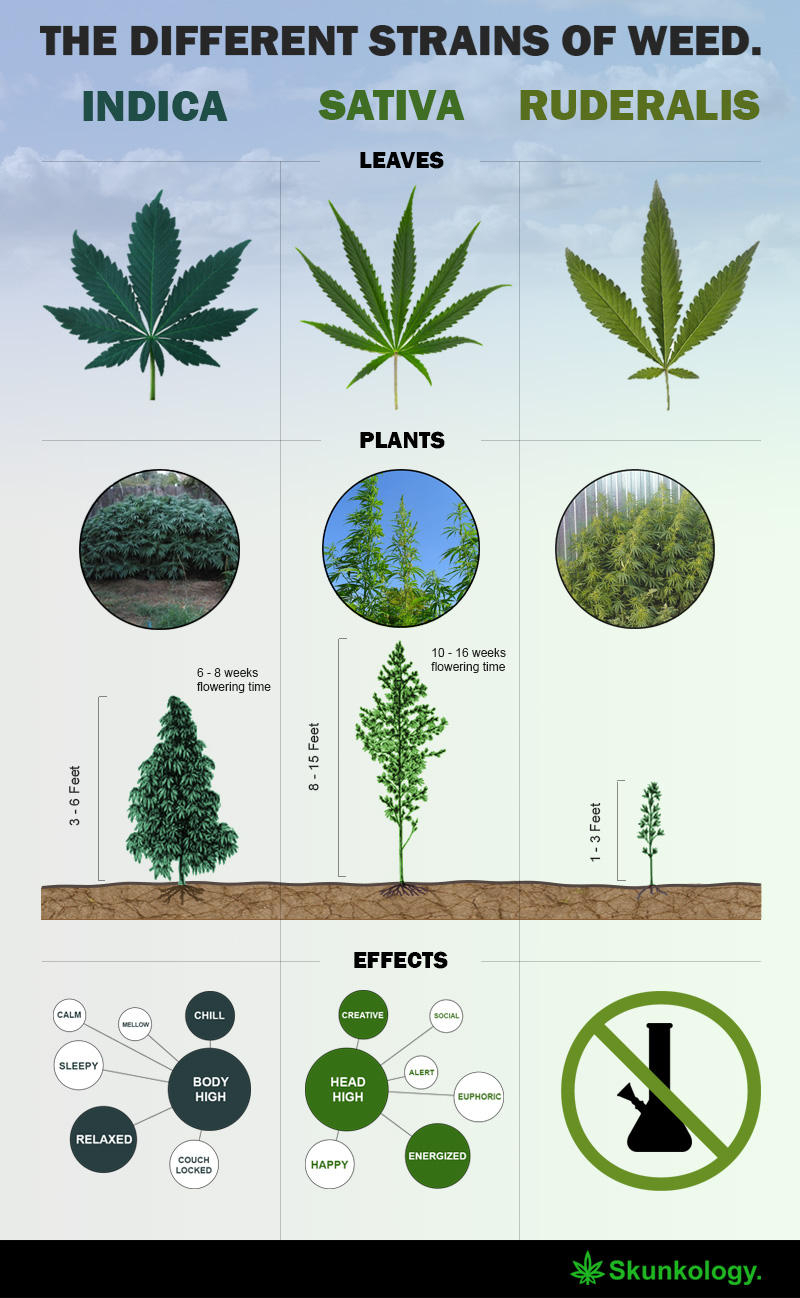 The Different Types Of Wine Infographic: The Different Types Of Weed Strains Explained