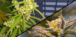 difference between male and female weed plants