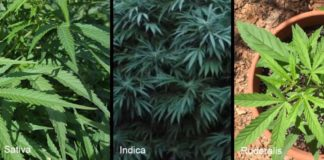 different types of weed strains